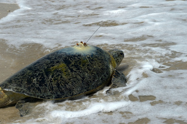 Public-private partnerships key to success for budding Gulf Green Turtle Conservation initiative