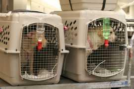 ОАЭ заинтересованы в импорте кошек и собак из России