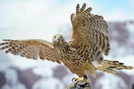 ОАЭ помогут восстановить популяцию соколов в России