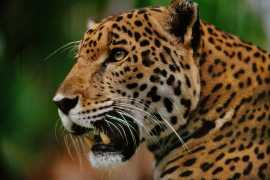 Two zookeepers attacked by jaguar at Al Ain Zoo